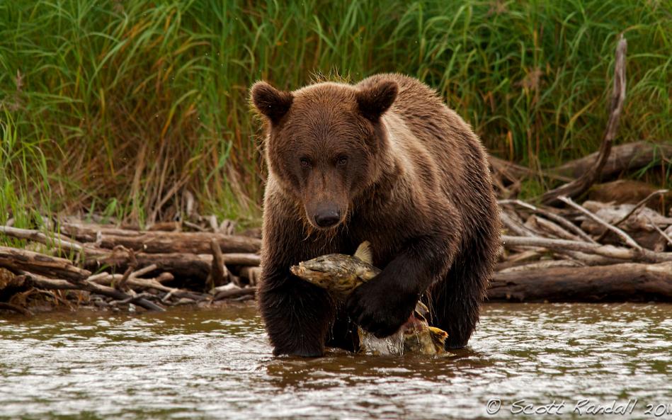 Salmón y oso